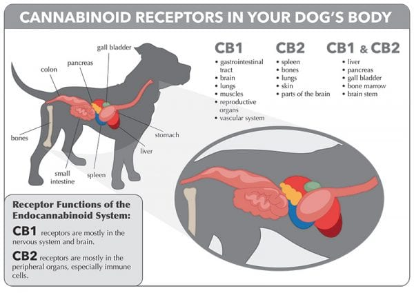 Cannabinoid Receptors in your Dog's Body